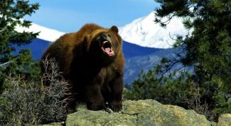 Как нарисовать медведь: пошаговый урок