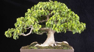 How to trim a ficus Benjamin