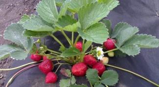Как выбрать хорошую клубничную рассаду