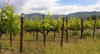 How to prune grapes in spring
