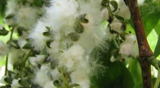 Как бороться с аллергией на тополиный пух