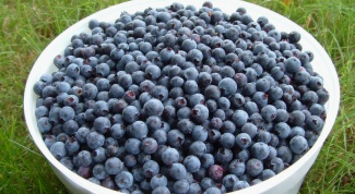 How to prepare blueberries for winter