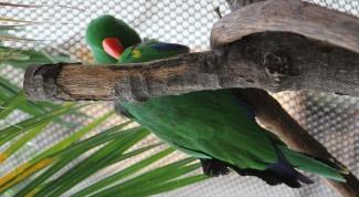 Почему попугаи говорят