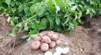 Как окучивать голландский картофель
