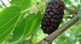How to grow mulberry