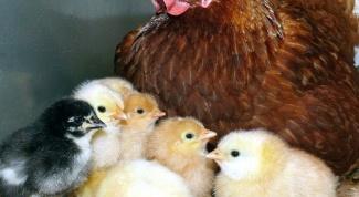 Как подготовить наседку к высиживанию яиц