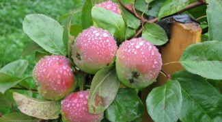 How to choose the right variety and plant an Apple tree