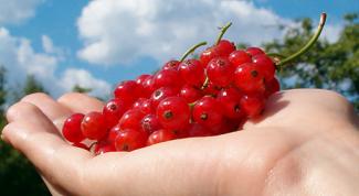 Как повысить урожайность смородины