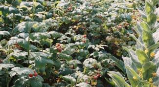 Как уберечь малинник от засухи