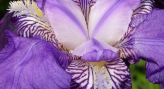 How to care for irises