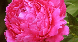 How to transplant peonies