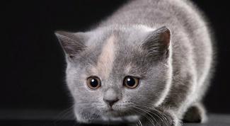 Как кормить котенка-британца