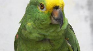 Как ухаживать за зеленым попугаем