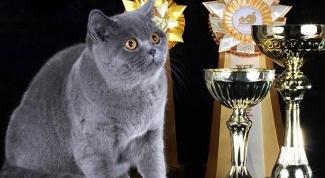 Как подготовиться к выставке кошек