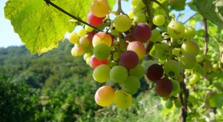 How to deal with the diseases of grapes