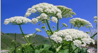 How to deal with Hogweed on the dacha