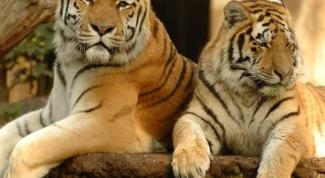 Почему туристам в Индии запертили посещать заповедники с тиграми