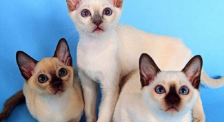 How to raise Siamese kittens