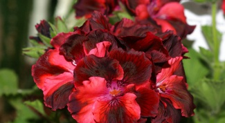 How to care for potted geraniums