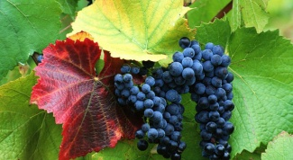 Как предотвратить болезни винограда