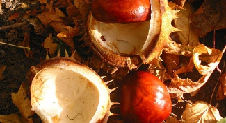 Целебные свойства каштанов и желудей: как ими воспользоваться