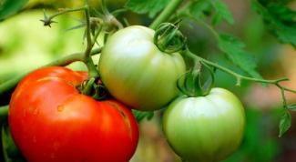 Как защитить помидоры от фитофторы