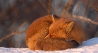 Как зимуют животные в лесу