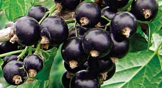 Полезные и лечебные свойства черной смородины