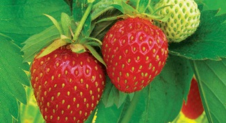How to protect strawberries from birds