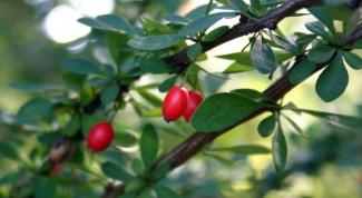 Полезные свойства барбариса обыкновенного