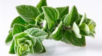 Oregano - a tasty and useful spice
