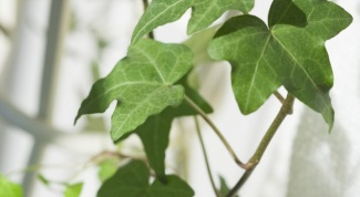 Размножение и выращивание плюща