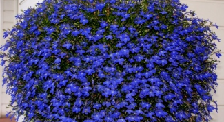 The secrets of growing Lobelia