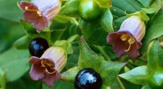 Лечебные свойства белладонны