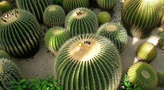 Все о кактусах