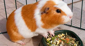 How to play with a Guinea pig