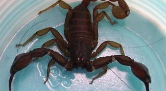 Как есть скорпионов