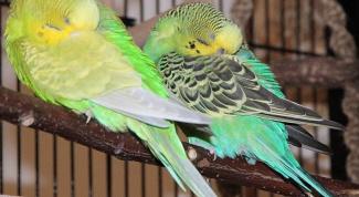 Как волнистые попугаи спят