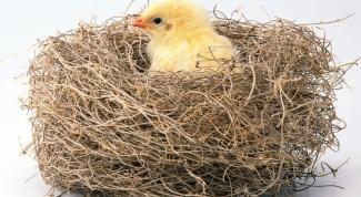 Как выкормить цыплят