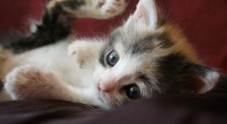 Как вывести блох у котенка в домашних условиях