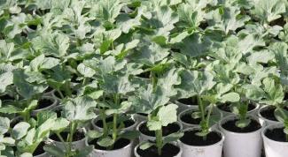 Как вырастить рассаду арбуза