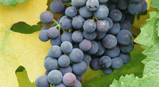 How to grow grapes in the Urals