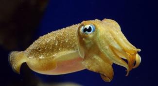 Как выглядит кальмар