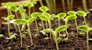 Как вырастить рассаду огурцов