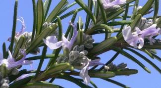 Как вырастить розмарин из семян