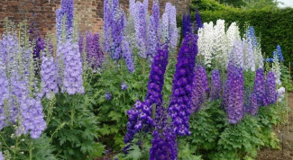 How to grow delphinium from seed