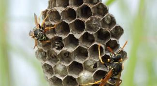 Как вывести осиное гнездо