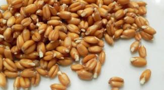 Целебные свойства пророщенной пшеницы