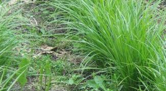 Как посадить чуфу (земляной орех)