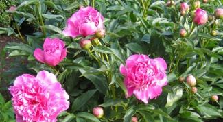 Why not bloom peonies